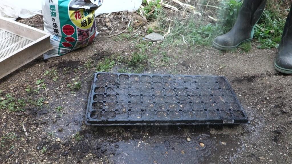 セルトレイに培養土を入れこれでもかと水やりしている様子