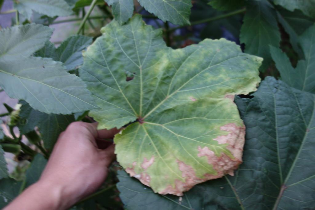 病気にかかったオクラの葉