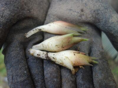 ミョウガの収穫