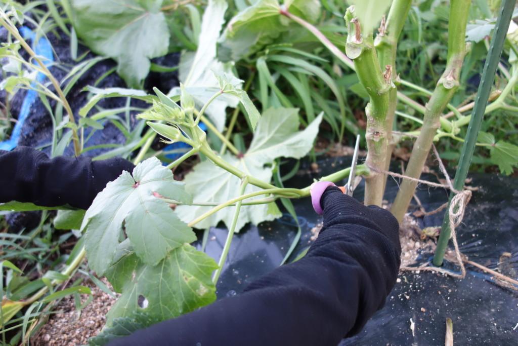 育ちすぎた脇芽を整枝する様子