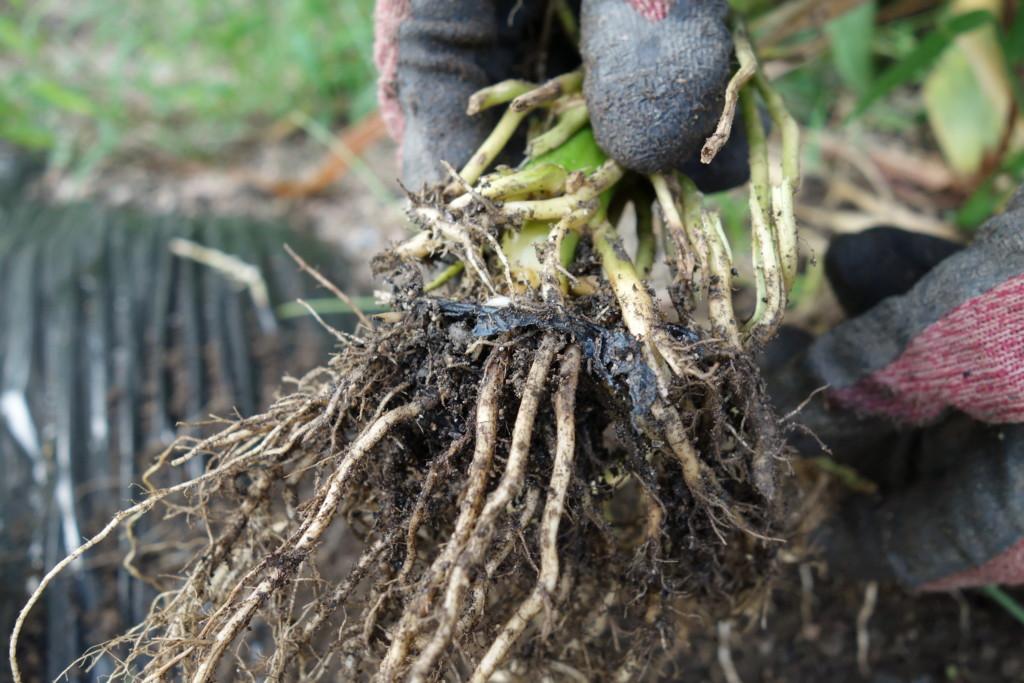 黒マルチが根に挟まった状態