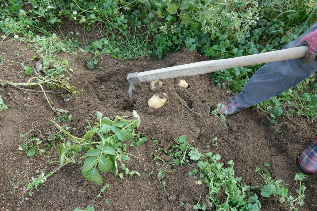 クワでジャガイモ収穫