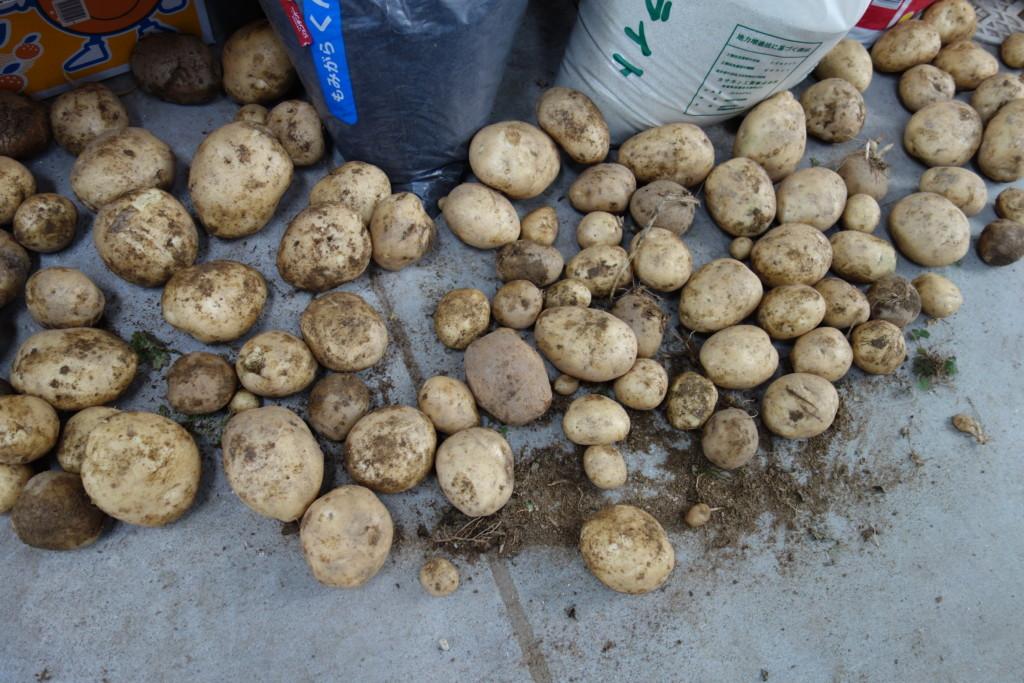 ジャガイモの乾燥