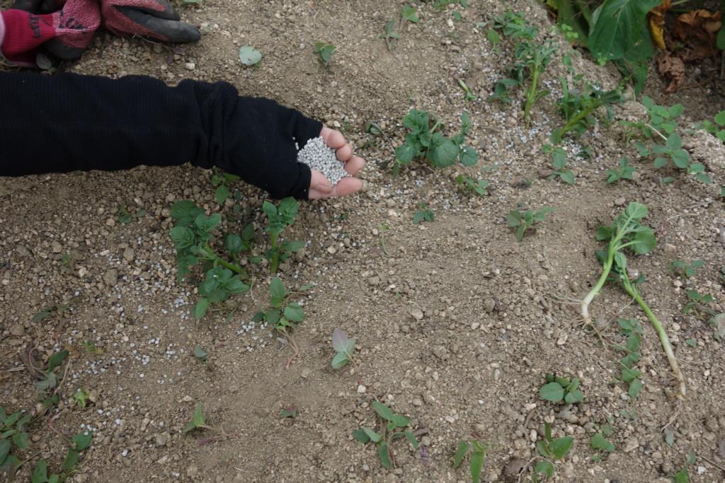 芽かき時がジャガイモの追肥時