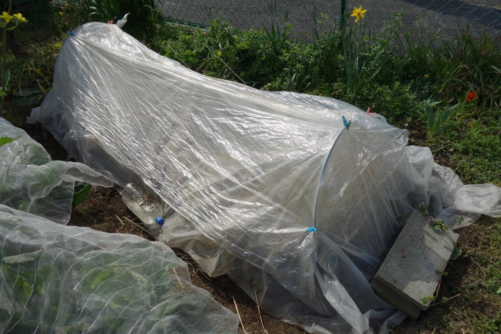 種芋のビニールトンネル保温