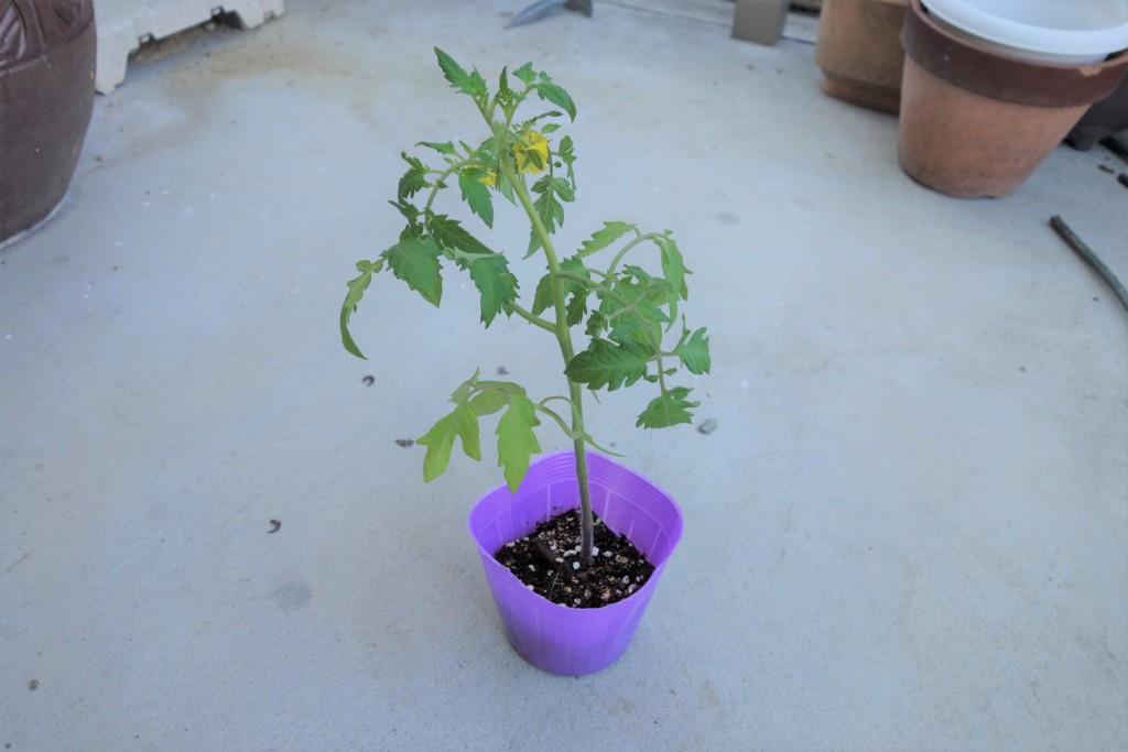 トマトの植え付け適期の苗