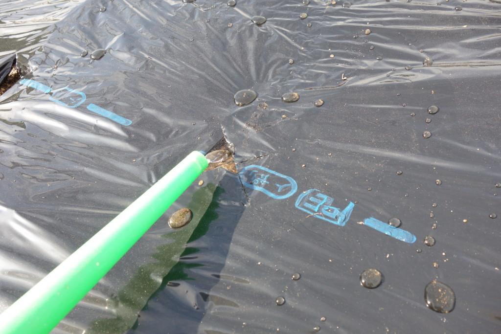 種まき前に植穴に水をまいている様子
