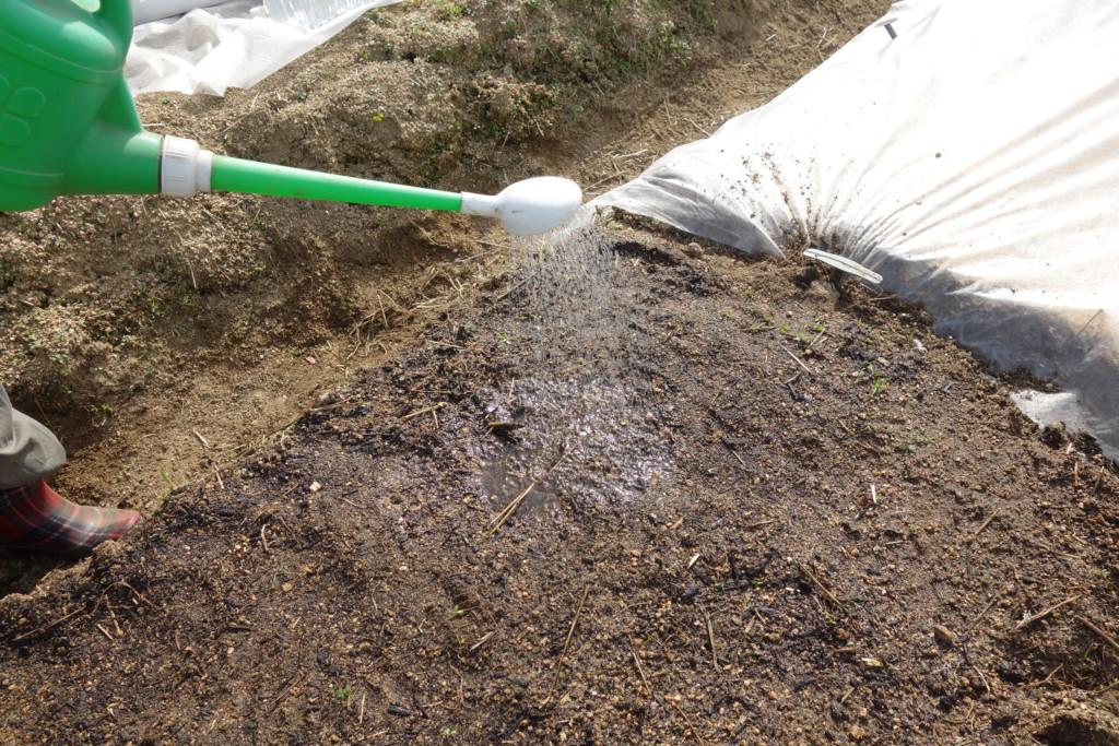 人参の種まきで畝を湿らせている様子