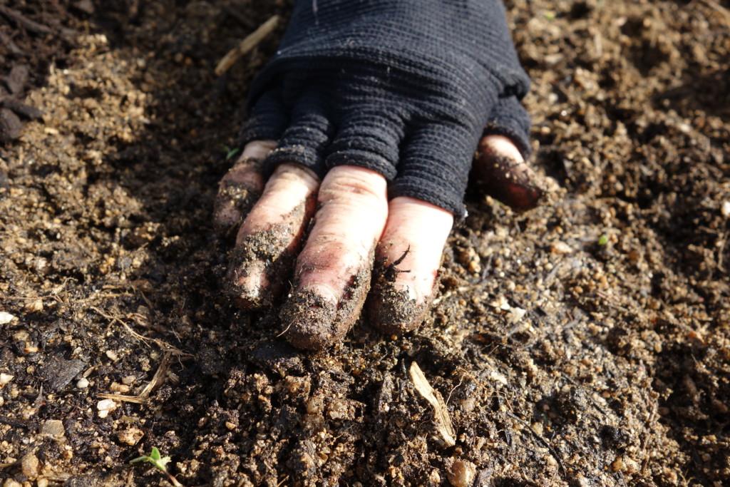 人参の種まきをし覆土をしている様子