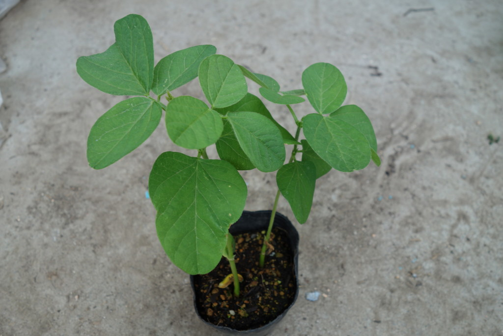 植え付け時期の枝豆