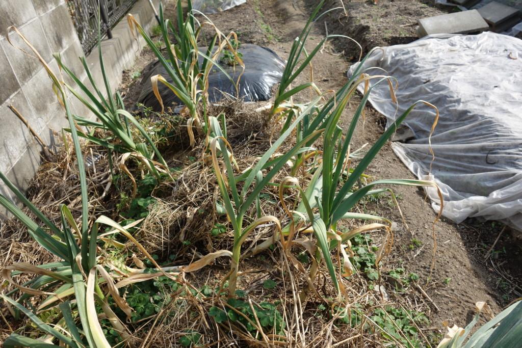 にんにくの収穫期