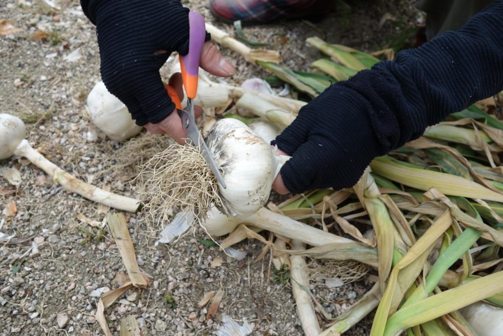 にんにくの根をハサミで切る