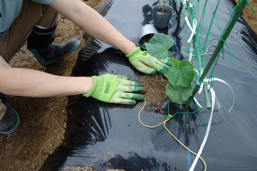 キュウリ苗の植え付け後覆土