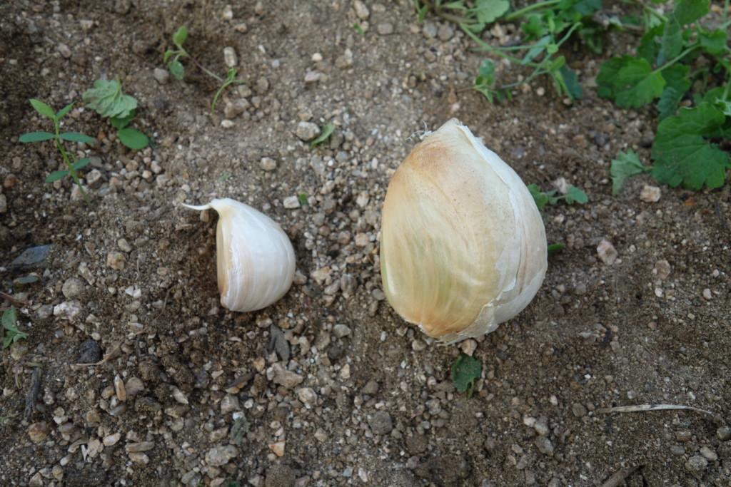 ホワイト六片とジャンボニンニクの分球