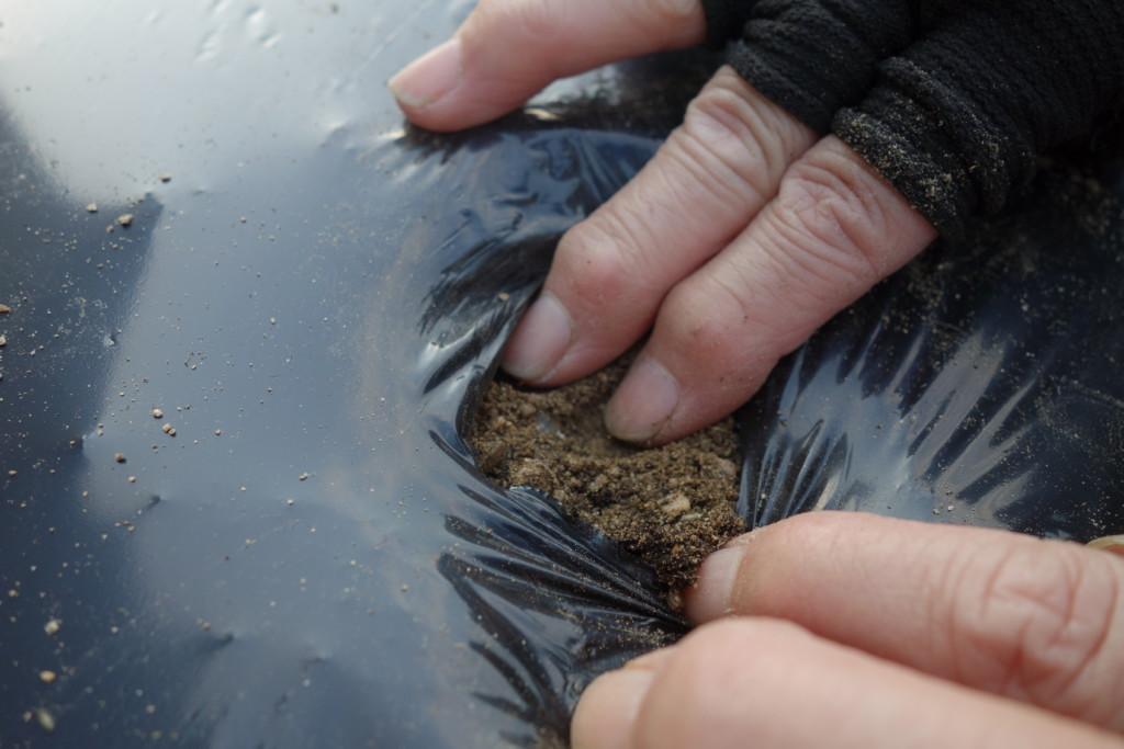 にんにく植え付けの覆土