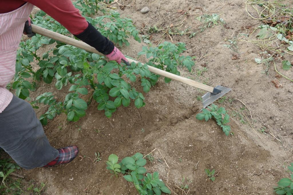 平グワによる土寄せ