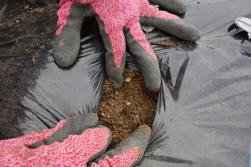 ジャンボにんにくの覆土