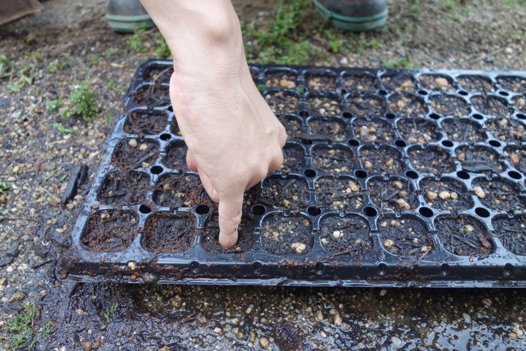 とうもろこしの種まきでセルトレイに植穴をあけている様子