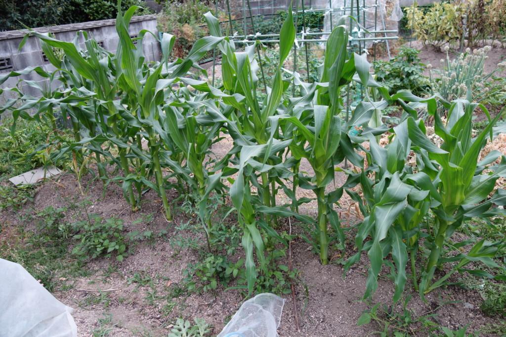とうもろこし栽培の特徴