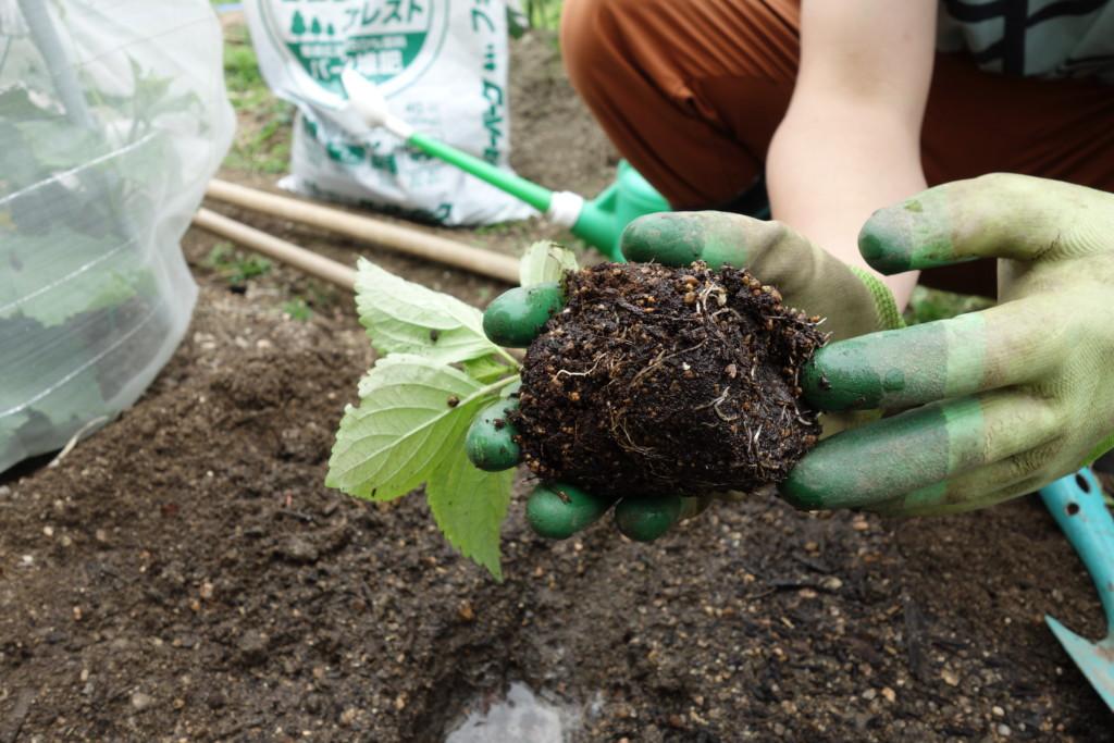大葉(紫蘇、シソ)の植え付け