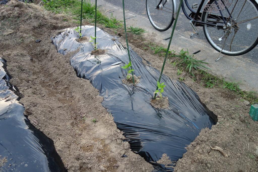 ピーマンのマルチ栽培