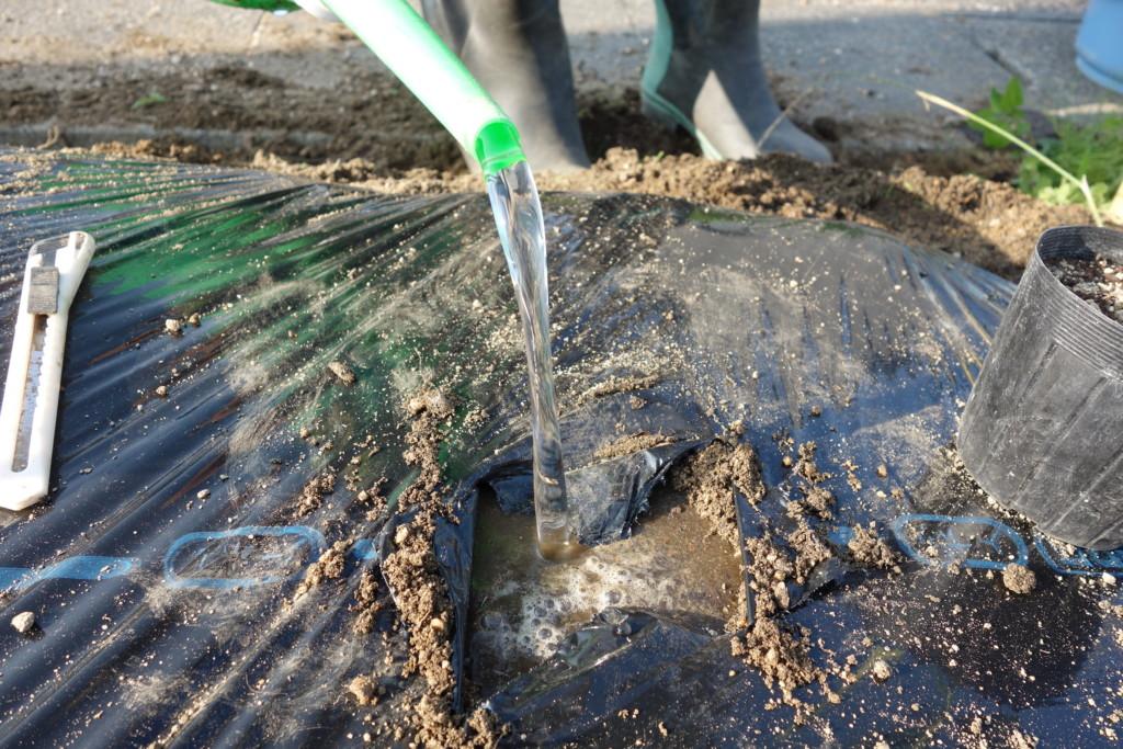 オクラの植え付けのため水入れをしている