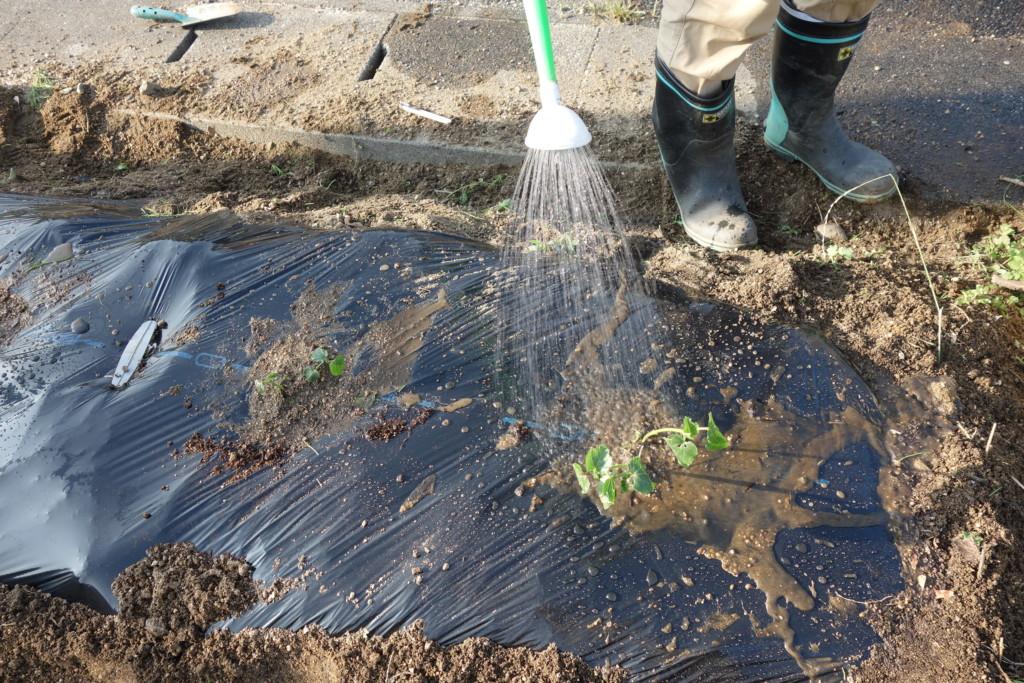 オクラの植え付けでたっぷりと水やりしている様子