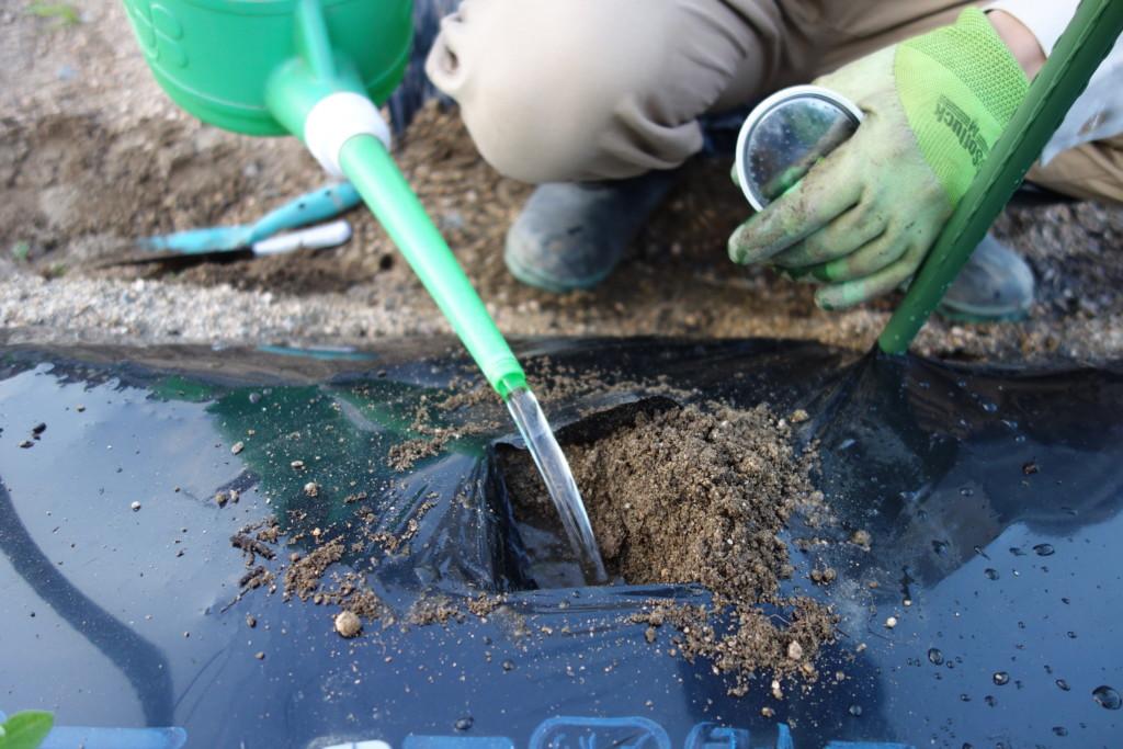 トマトの植穴にあふれるくらい水を注ぎこんでいる様子