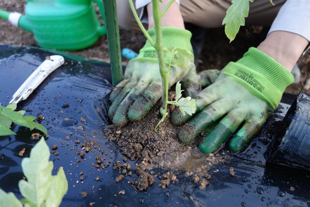 トマト苗を植え付けて土で押さえつけている様子