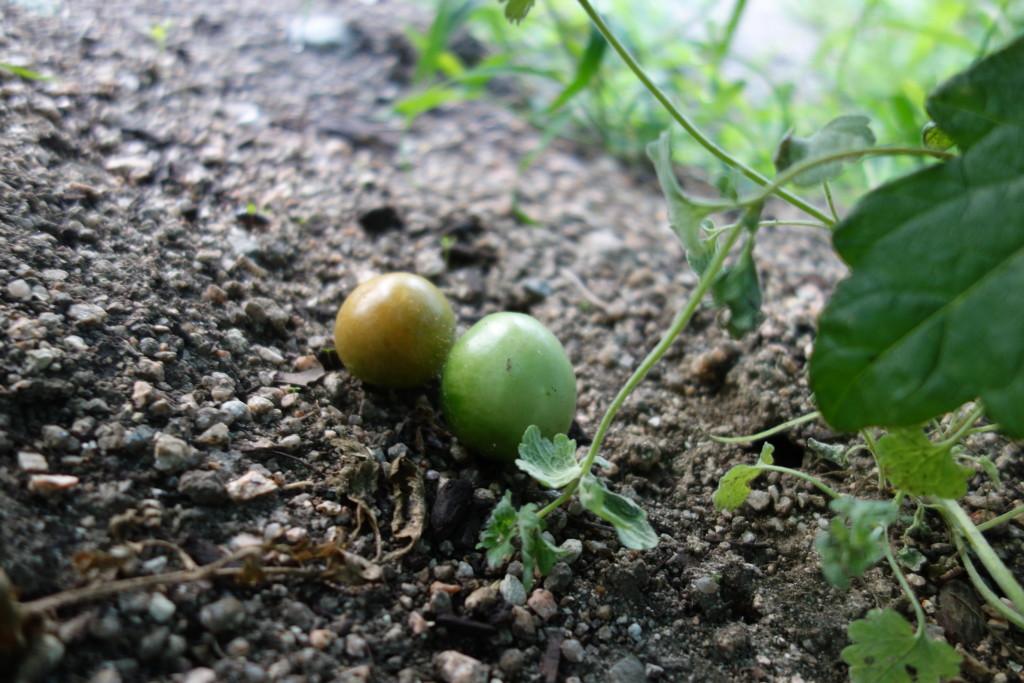 トマトの実が落ちる