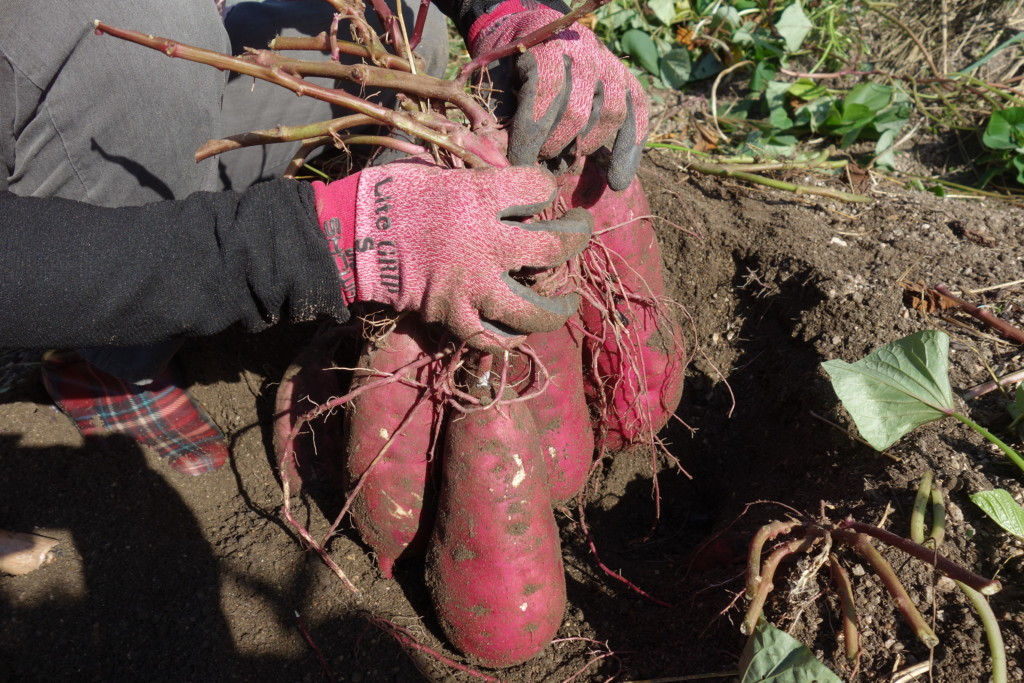 サツマイモ収穫完了