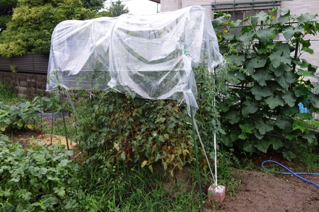 トマトの雨よけ栽培