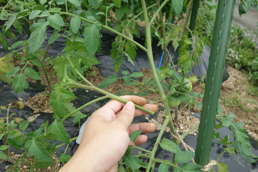 トマトの脇芽を芽かきしている様子