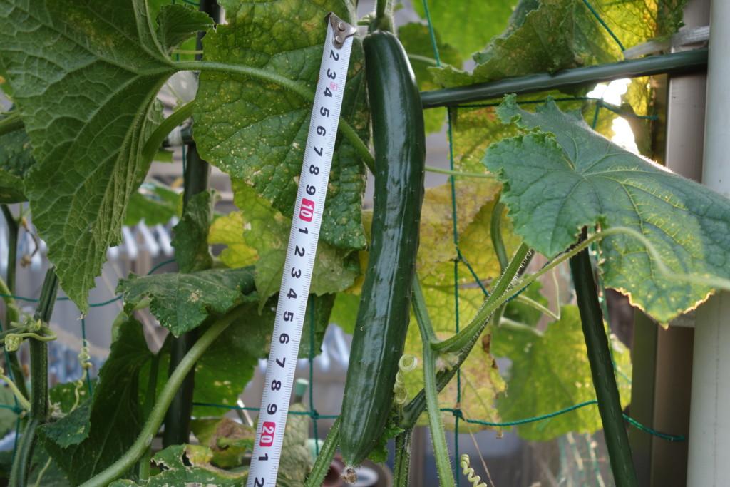 きゅうりの収穫適期サイズ