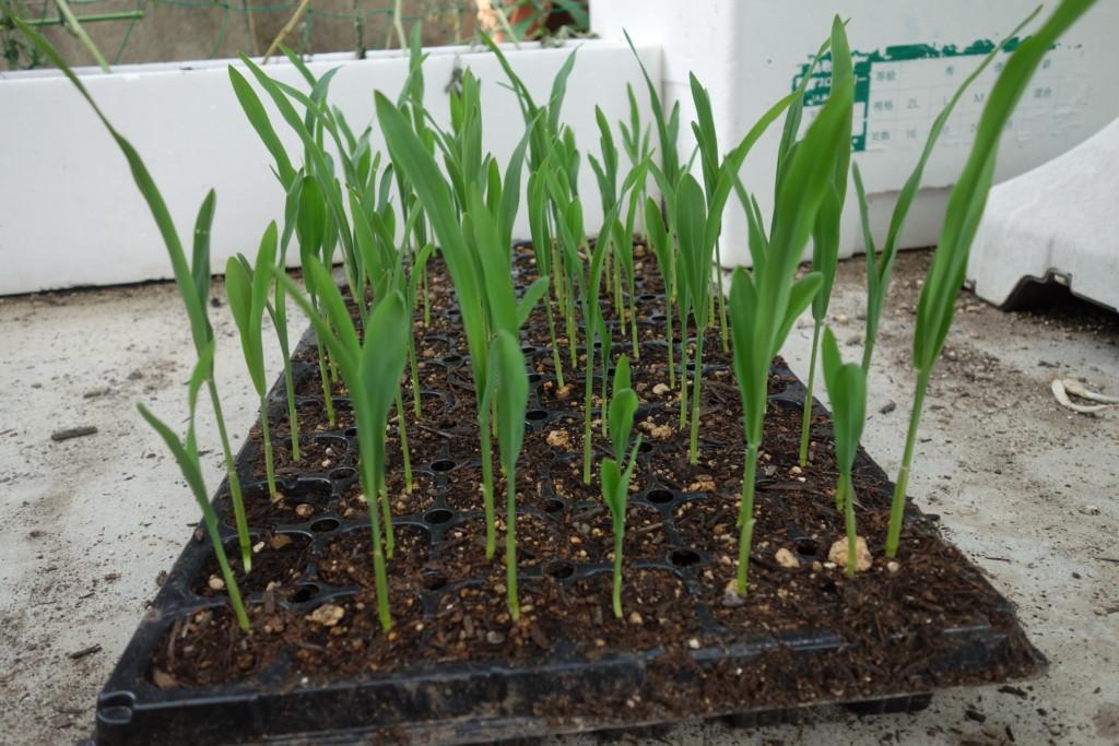 植え付け適期の苗
