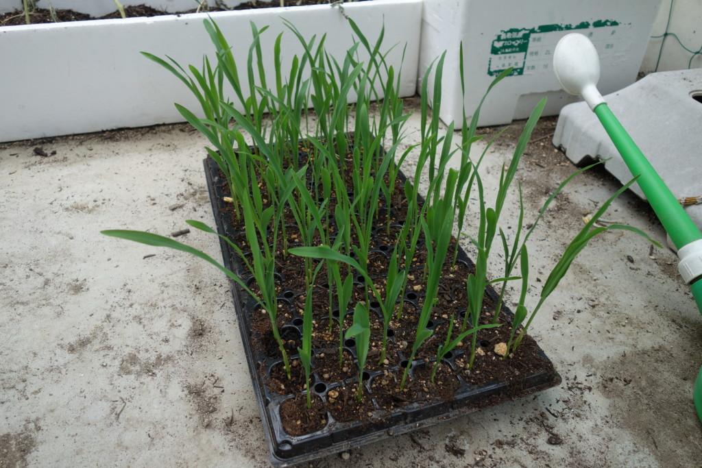 とうもろこし苗が本葉2〜3枚になって植え付けれる状態