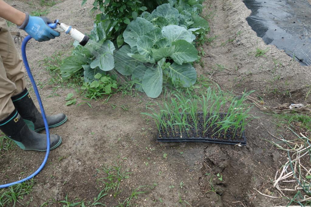 植え付け前にセルトレイ苗に水やりしている様子