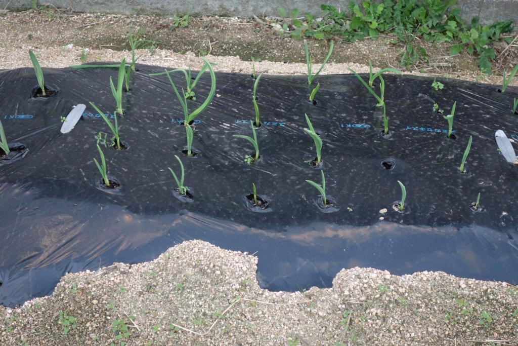 にんにくのマルチ栽培
