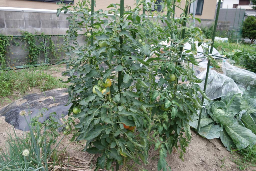 トマトを栽培している様子