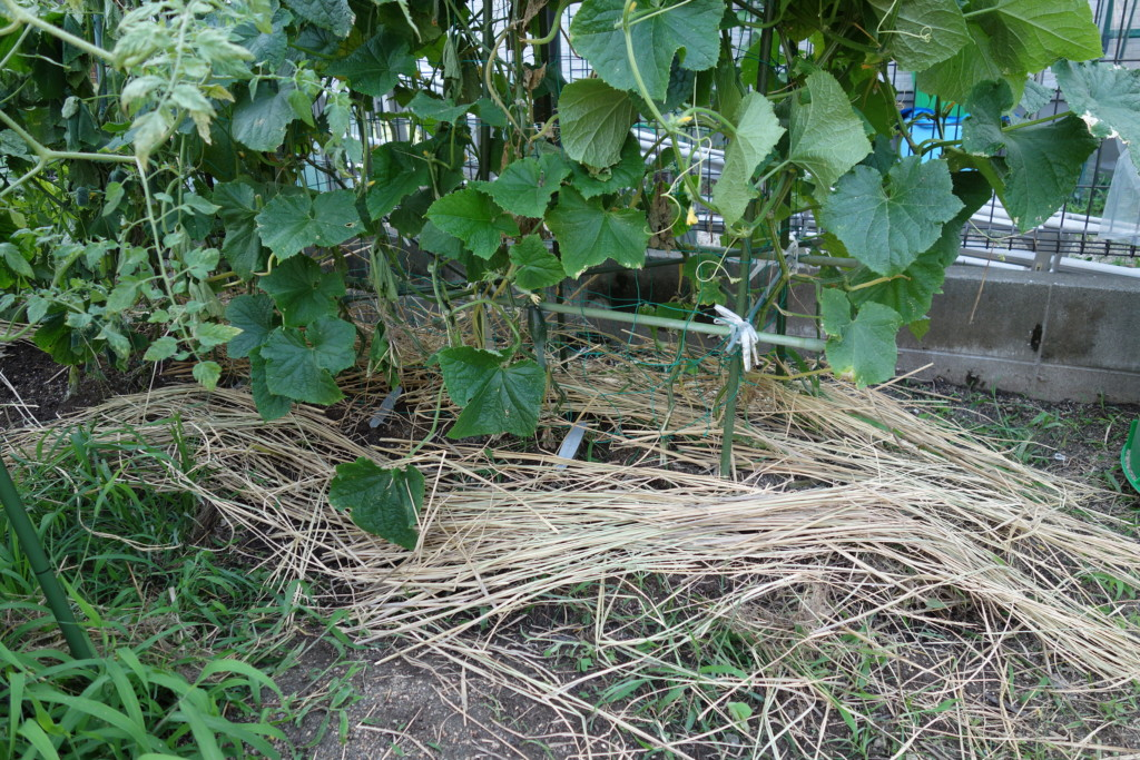 きゅうりの畝に敷き藁をしている