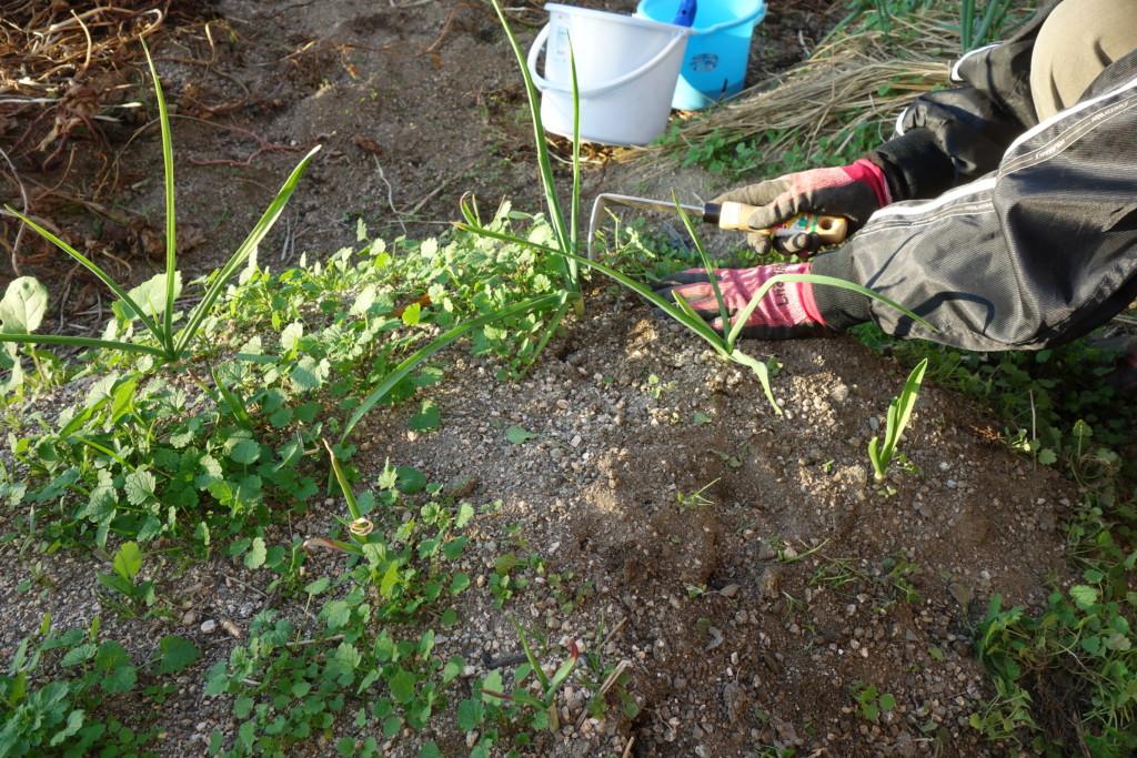 にんにく畝の雑草刈り