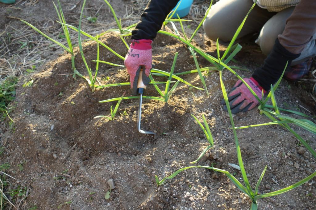 にんにくの中耕と土寄せ
