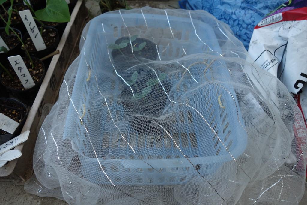 きゅうり育苗で防虫ネットをかけている