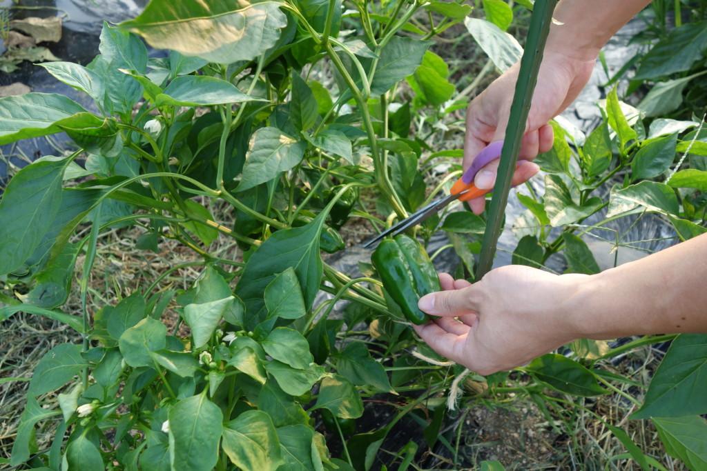 ピーマンの収穫方法