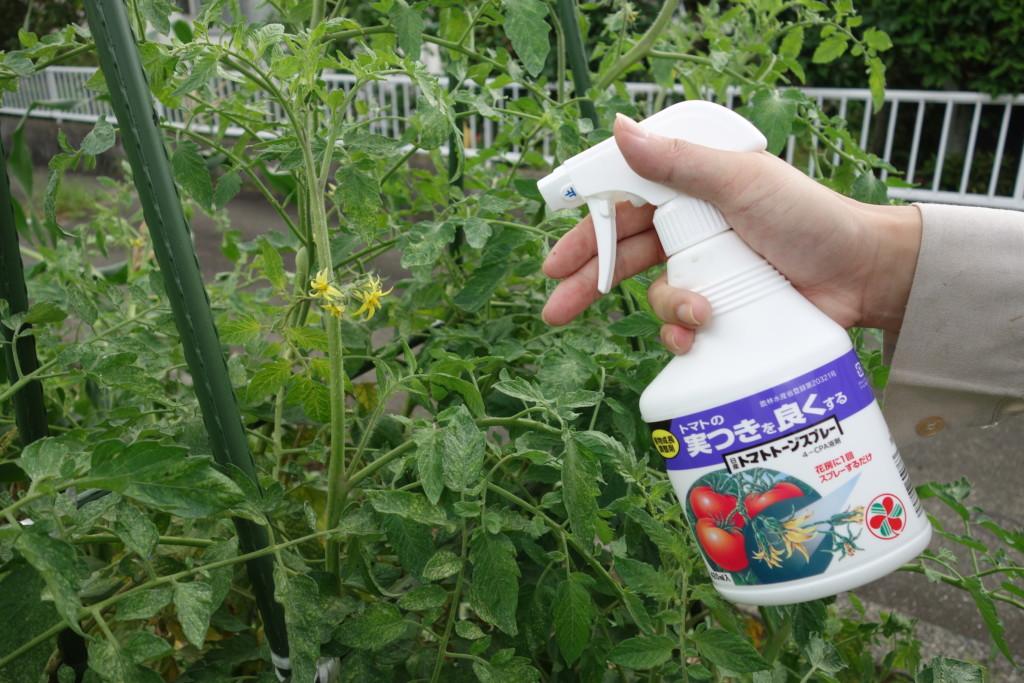 トマトの花にトマトトーン(ホルモン剤)をかけている様子