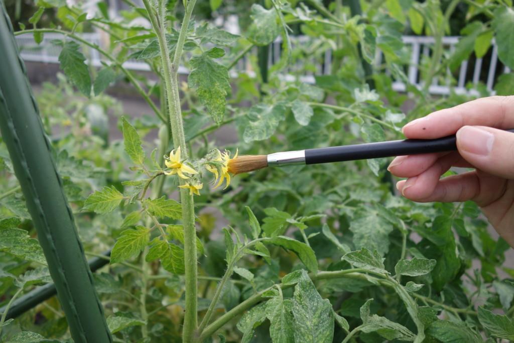 トマトの花に着果させるために受粉している様子