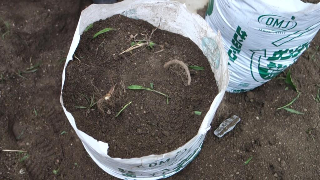 長芋の植え付けをしている様子