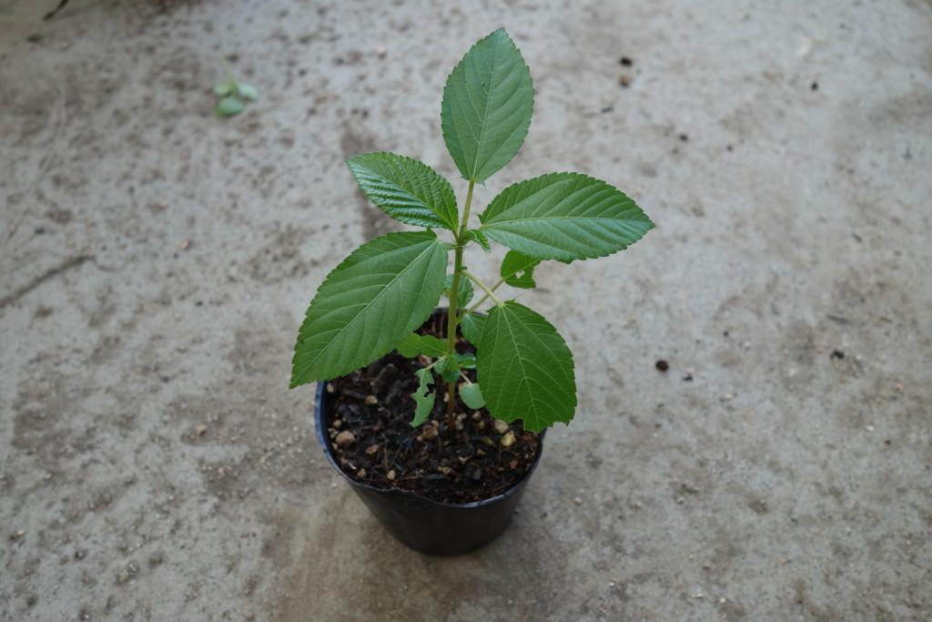 本葉7~8枚で植えつけ適期になったモロヘイヤ