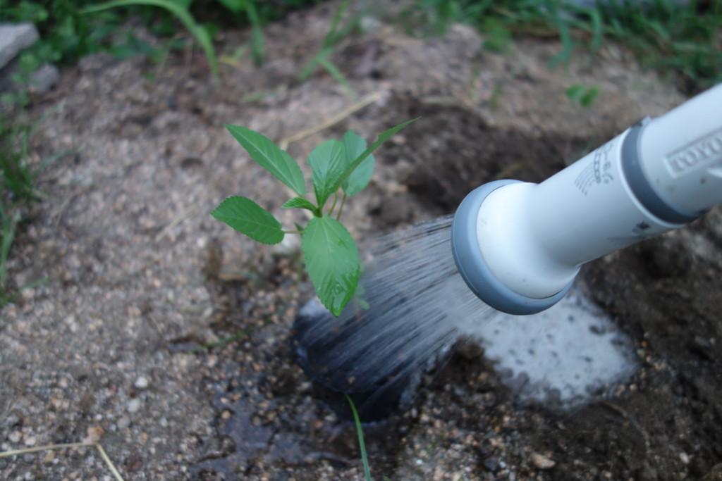 モロヘイヤの植え付けのためポットにも水をやっている