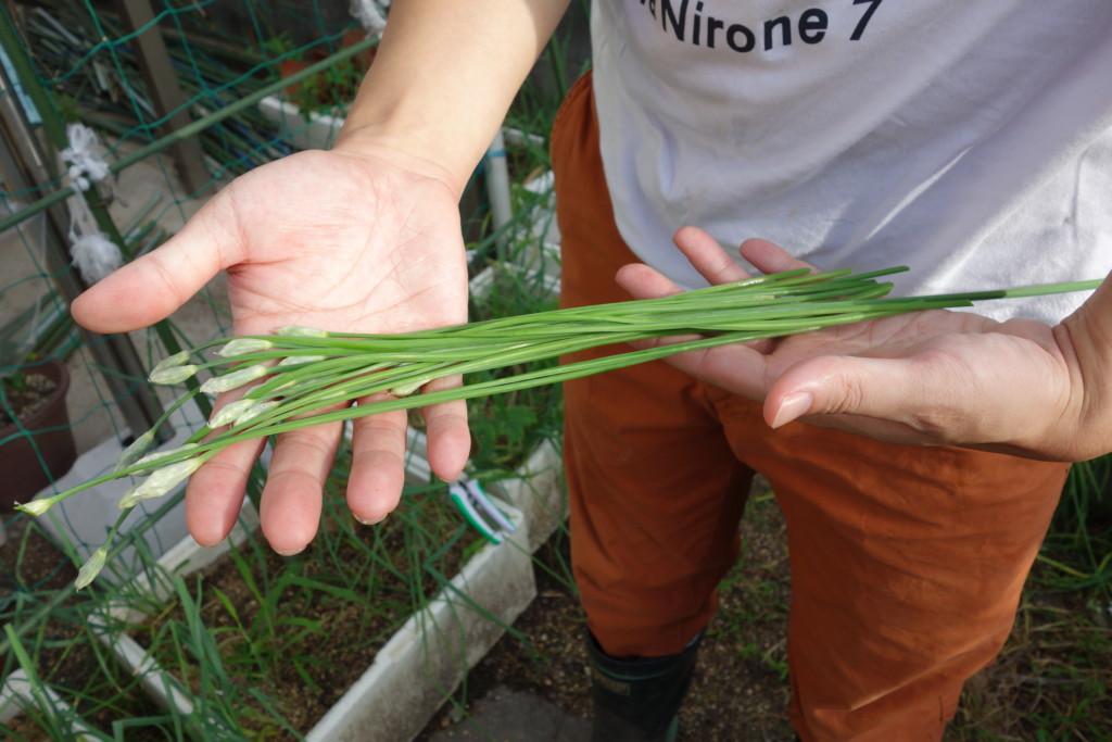 ニラの花芽収穫